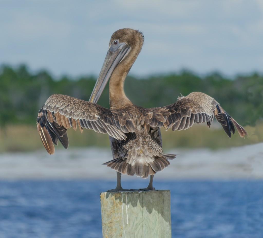 pelican drying wings