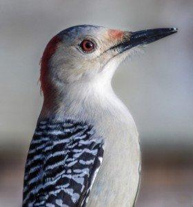 woodpecker portraitbest